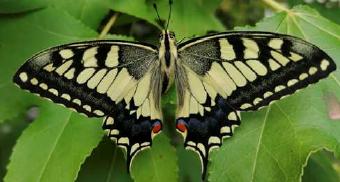 Es cerquen voluntaris per descobrir papallones a Gavà